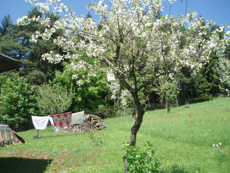 de fruitbomen staan in bloei